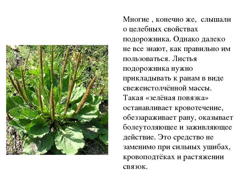 Семена подорожника лечебные свойства и противопоказания, отзывы экспертов