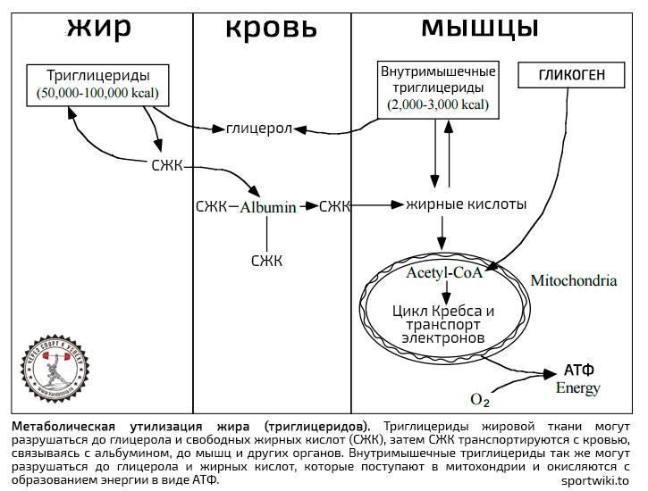 Гликоген и жиросжигание