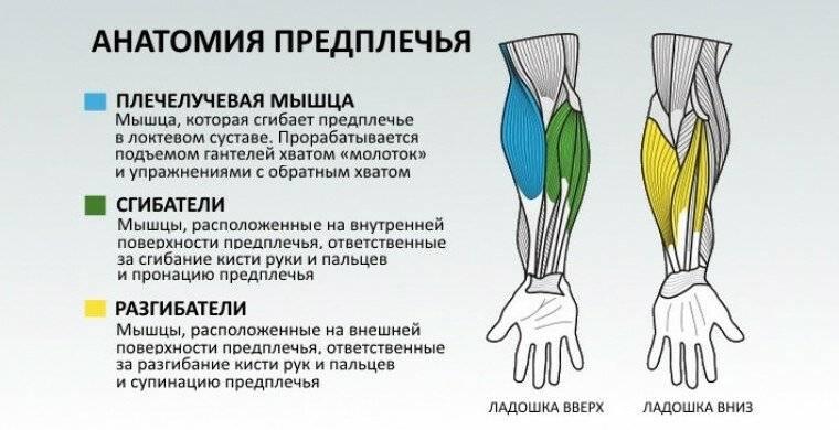 Плечелучевая мышца: как накачать брахиорадиалис