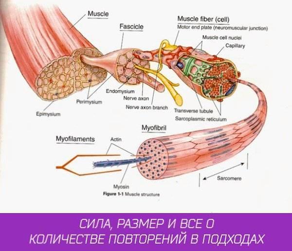 Гипертрофия мышц: обзор принципов тренировки для увеличения массы мышц. часть 2 | fpa