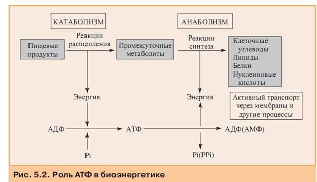 Что такое катаболизм, анаболизм. какое отношение они имеют к метаболизму и как происходят?