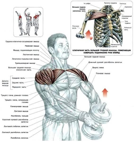 Упражнения на верхнюю часть грудных мышц в домашних условиях