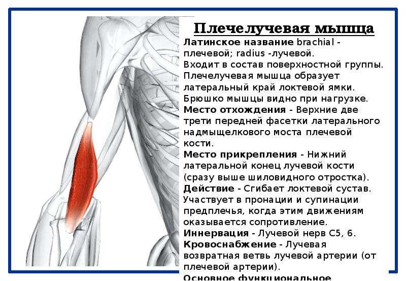 Анатомия мышц предплечья человека – информация: