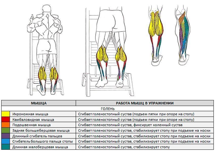 Анатомия икроножных мышц человека – информация: