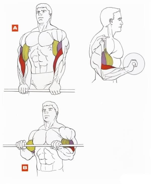 Брахиалис: как накачать плечевую мышцу для увеличения объема бицепса