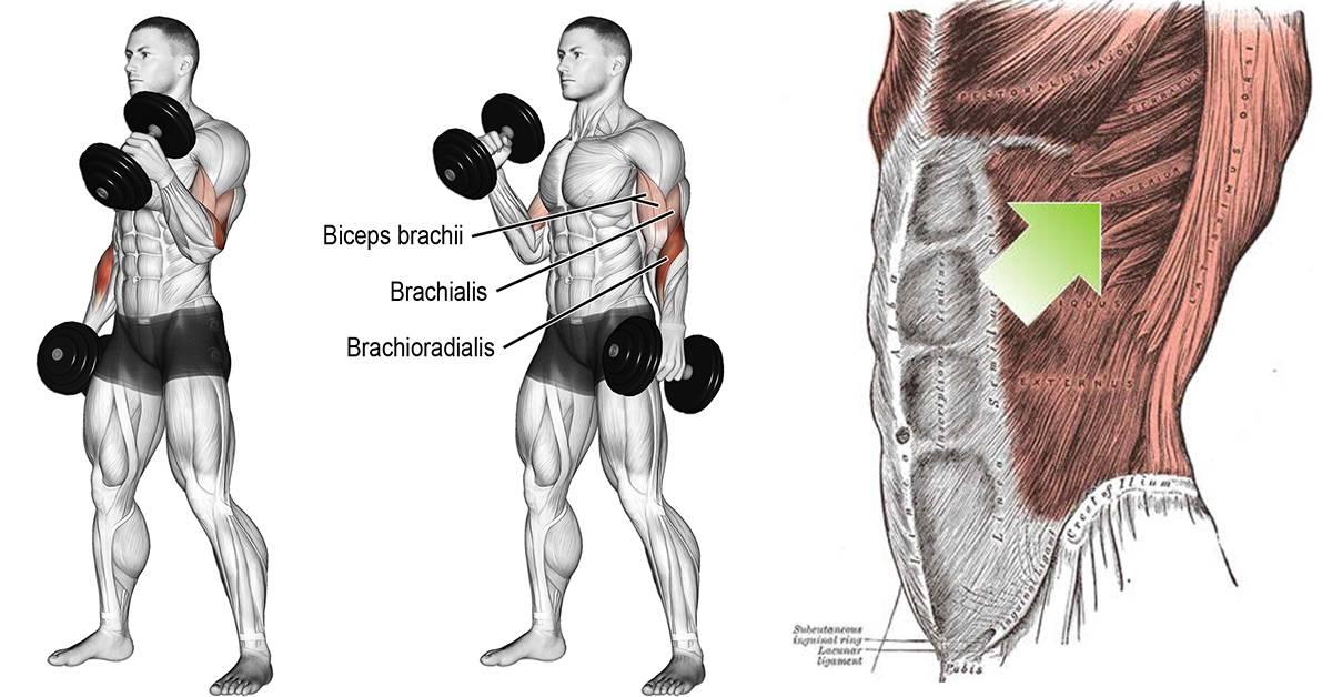Как накачать бицепс: 4 метода увеличить рост двуглавой. • bodybuilding {amp}amp; fitness