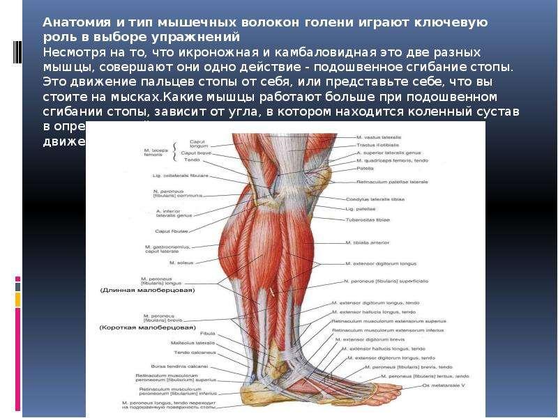 Мышцы голени (задняя группа) человека   анатомия мышц голени, строение, функции, картинки на eurolab