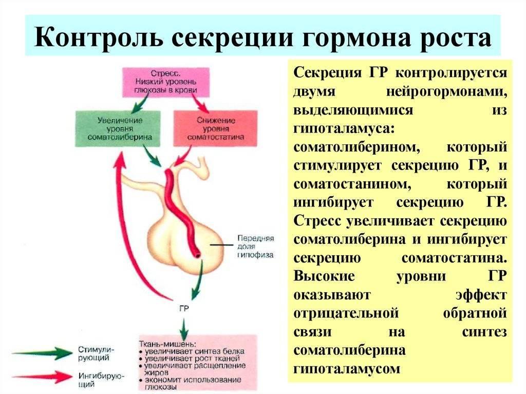 Как увеличить выработку гормона роста естественным путем