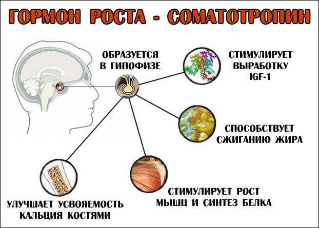 Выроботка гормона роста человека в организме