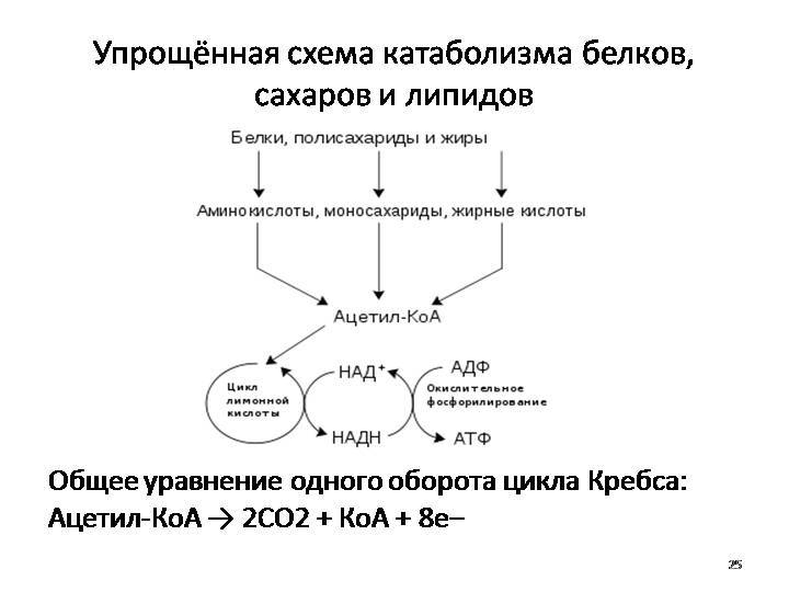 Обмен веществ: анаболизм + катаболизм = метаболизм